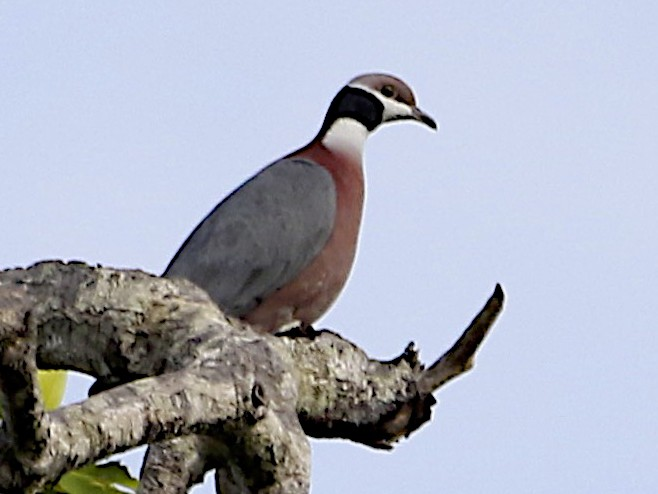 Collared Imperial-Pigeon - Jennifer Spry