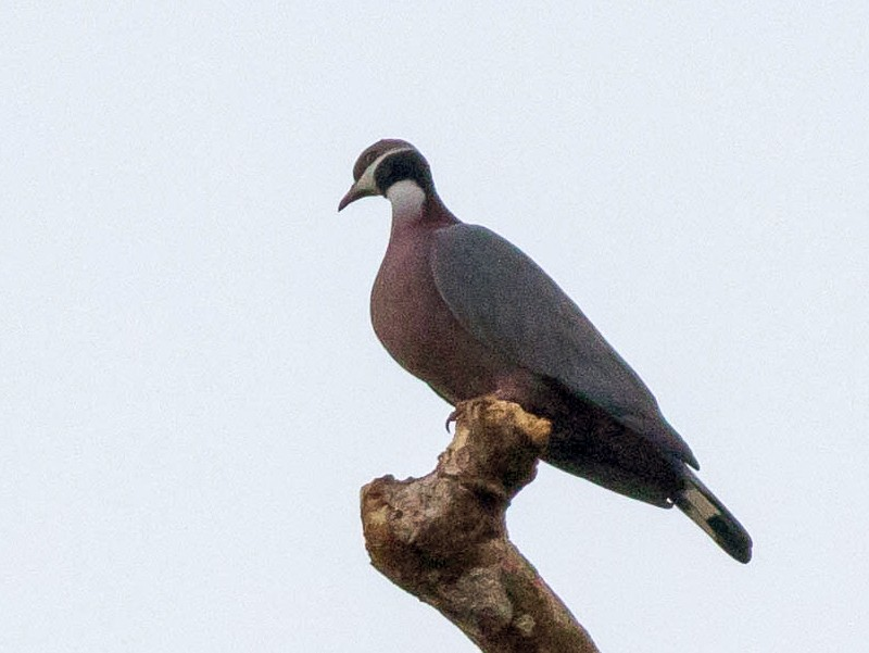 Collared Imperial-Pigeon - Doug Gochfeld