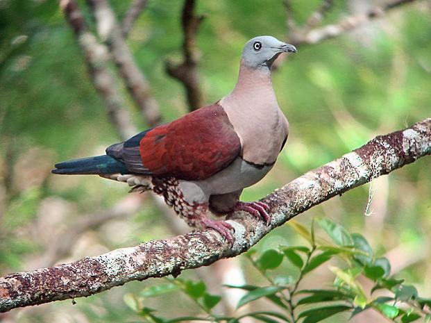 Zoe's Imperial-Pigeon - Nik Borrow