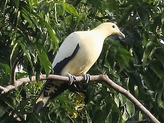 - Yellowish Imperial-Pigeon