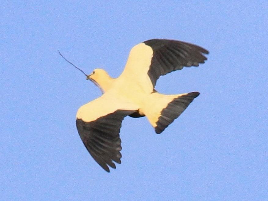 Yellowish Imperial-Pigeon - Charles Davies