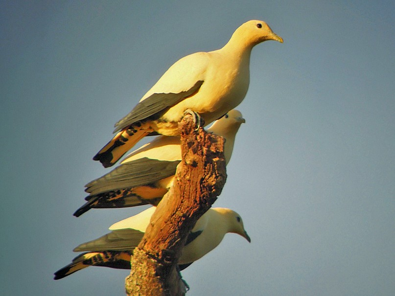 Yellowish Imperial-Pigeon - Nik Borrow