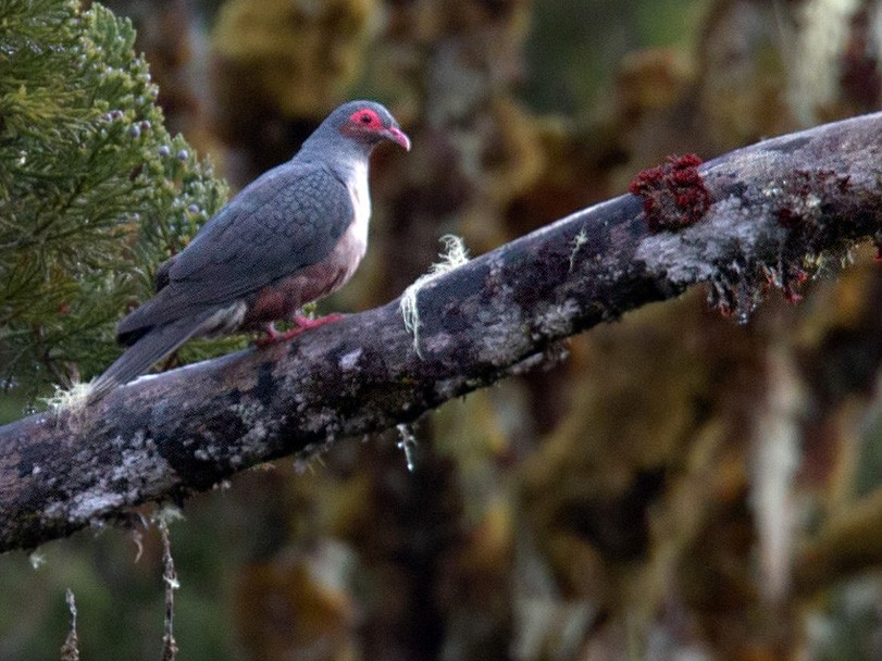 Papuan Mountain-Pigeon - Lars Petersson