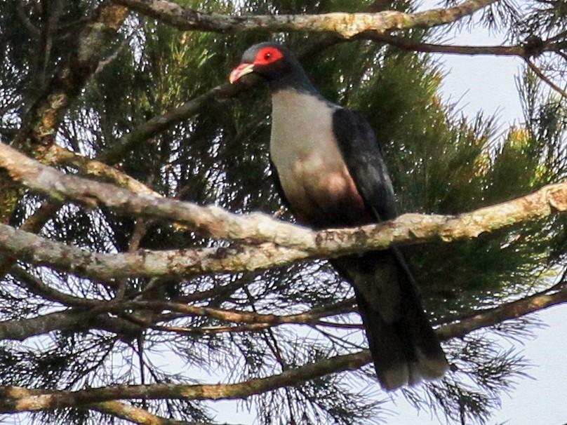 Papuan Mountain-Pigeon - Charles Davies
