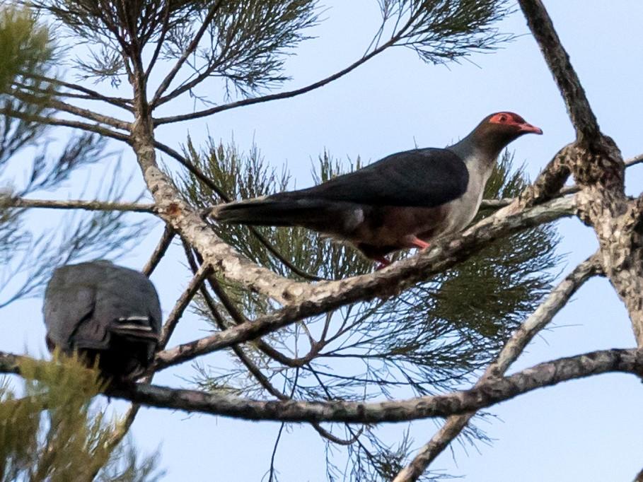 Papuan Mountain-Pigeon - Chris Barnes