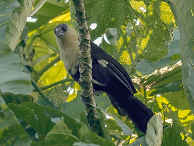 Pied Coucal - David and Kathy  Cook