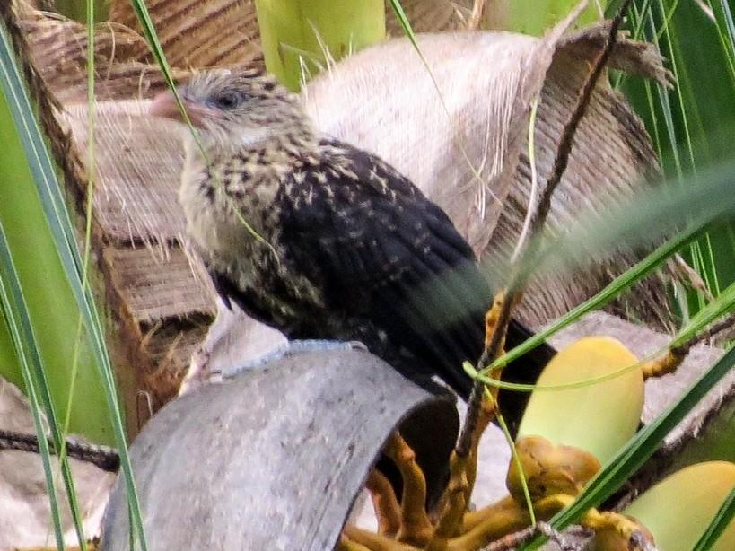 Pied Coucal - Phil Gregory | Sicklebill Safaris | www.birder.travel