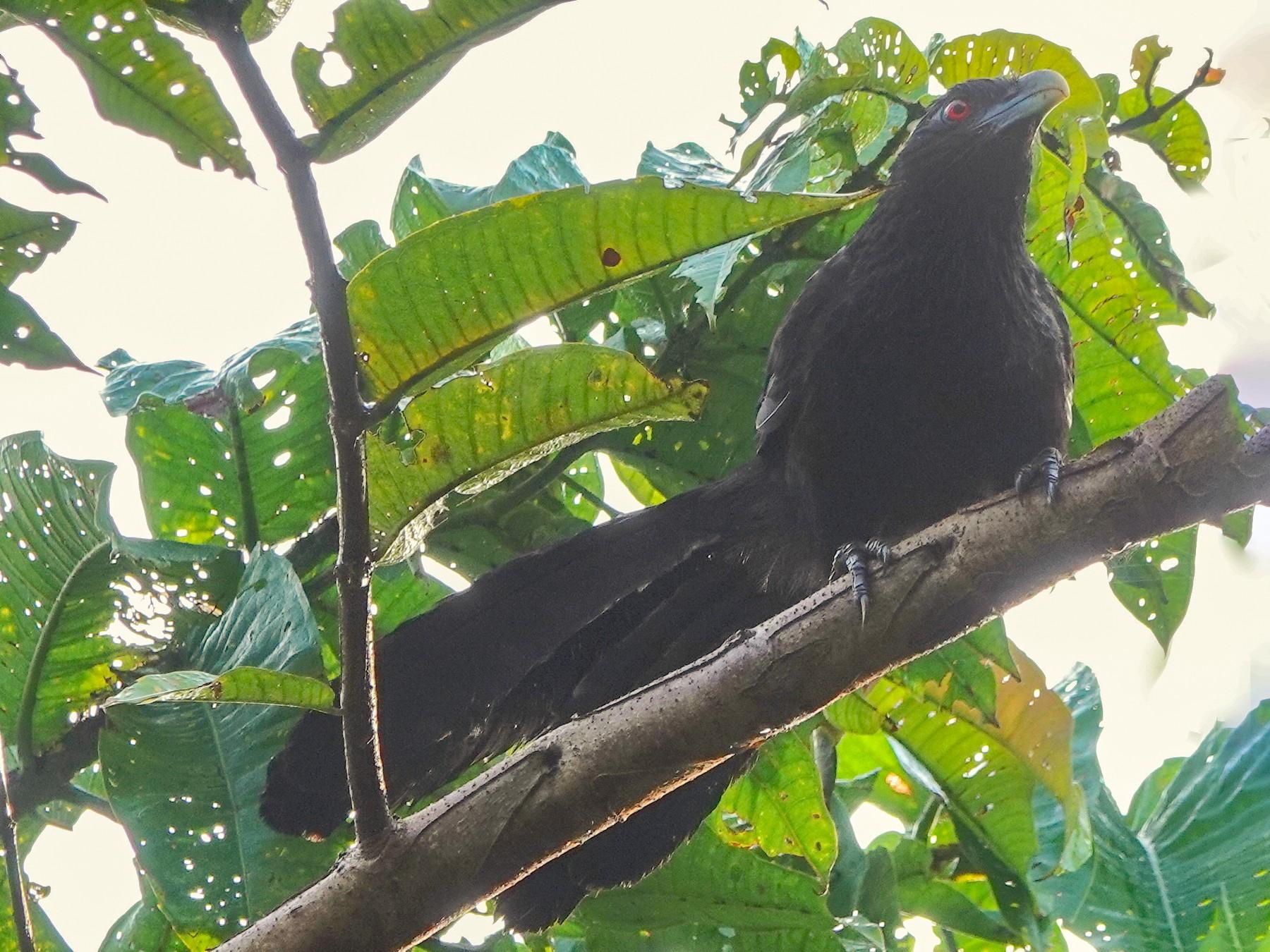 Greater Black Coucal - Deanna Mac Phail