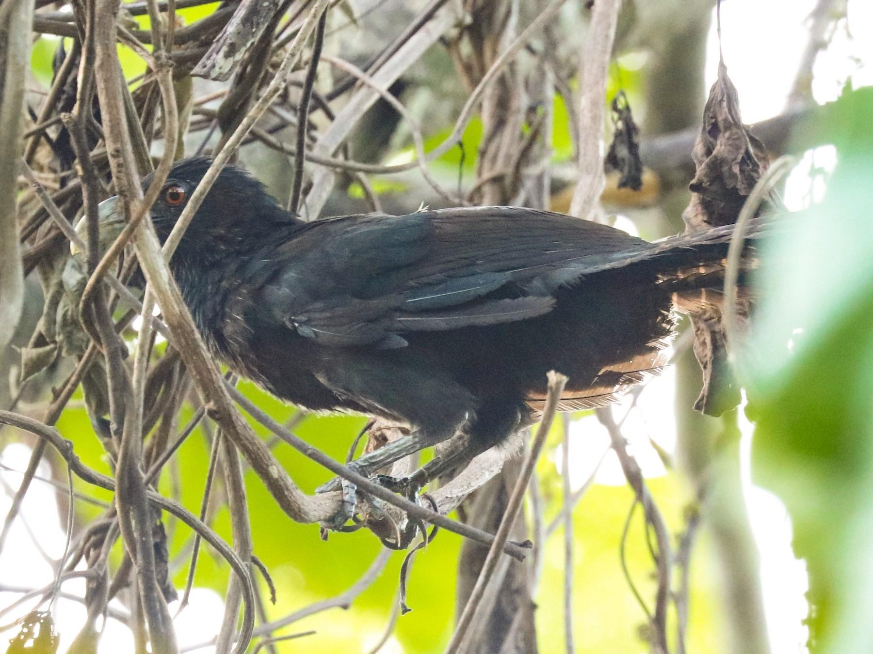 Greater Black Coucal - John Bruin