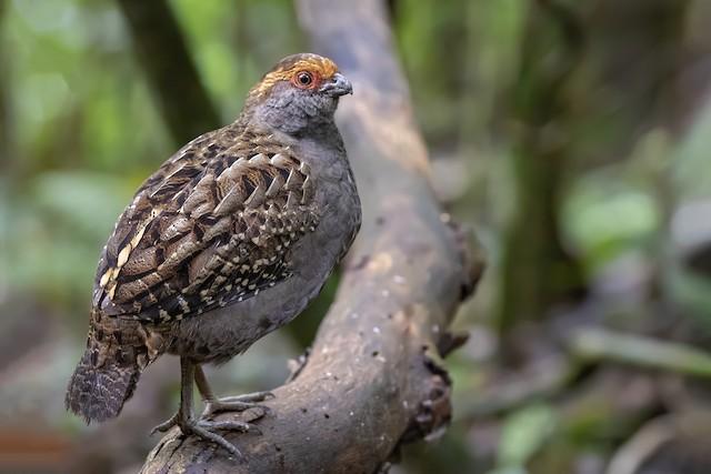 Spot-winged Wood-Quail