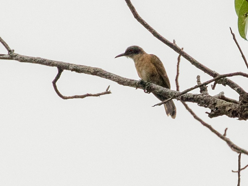 Long-billed Cuckoo - Tony Palliser