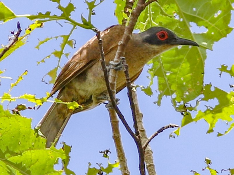 Long-billed Cuckoo - Chris Wiley