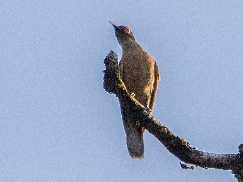 Long-billed Cuckoo - Bradley Hacker