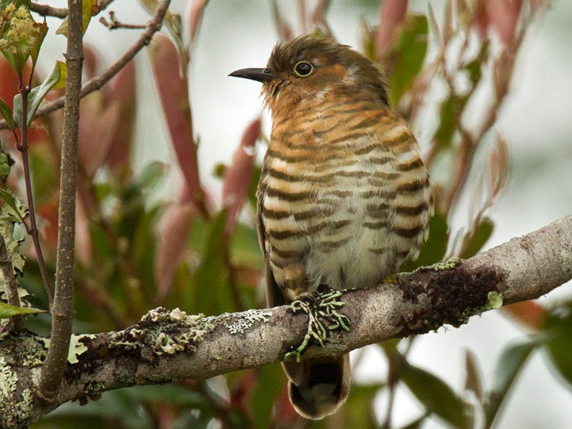 Rufous-throated Bronze-Cuckoo - Lars Petersson