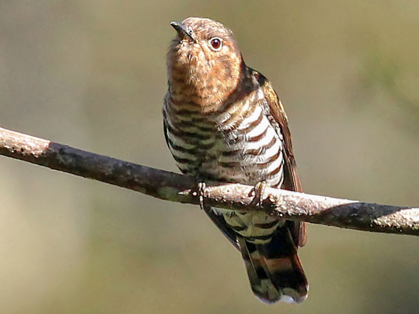 Rufous-throated Bronze-Cuckoo - Phillip Edwards