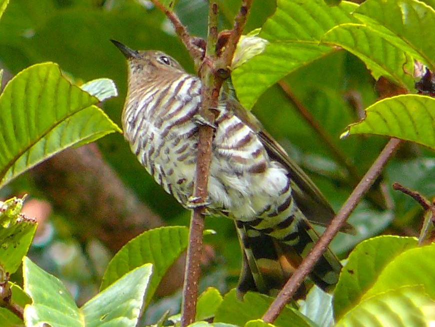 Rufous-throated Bronze-Cuckoo - Mark Sutton