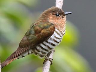 - Rufous-throated Bronze-Cuckoo