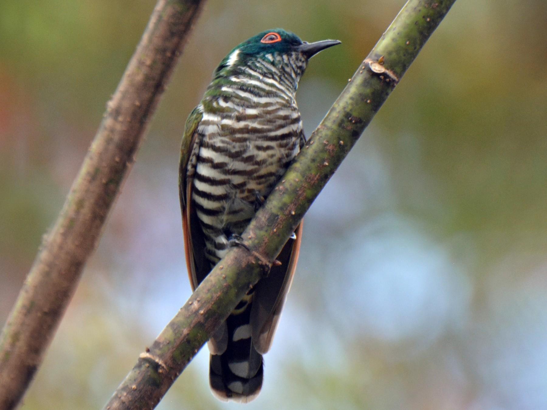 White-eared Bronze-Cuckoo - STEVEN LARSON