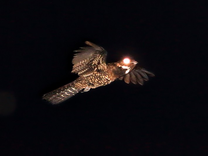 Papuan Nightjar - Mark Welford