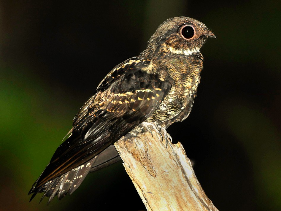 Papuan Nightjar - Mathieu  Bally