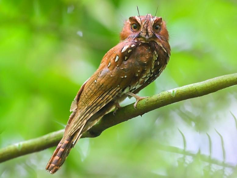 Feline Owlet-nightjar - Carlos Bocos