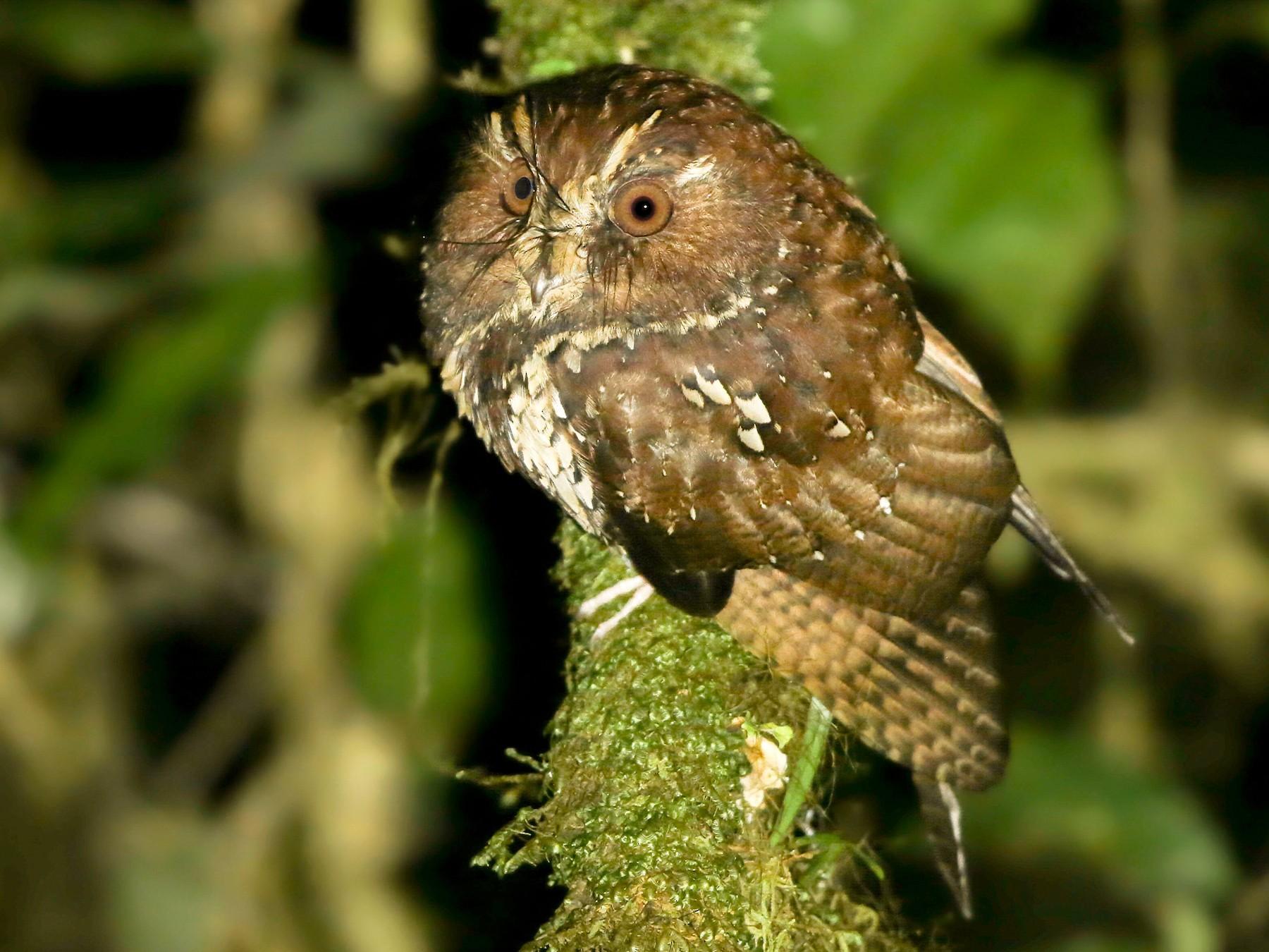 Feline Owlet-nightjar - Mathieu  Bally