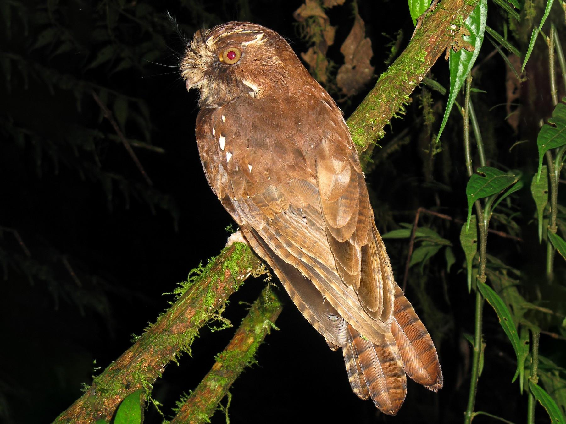 Feline Owlet-nightjar - Andy Boyce