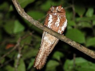 - Starry Owlet-nightjar