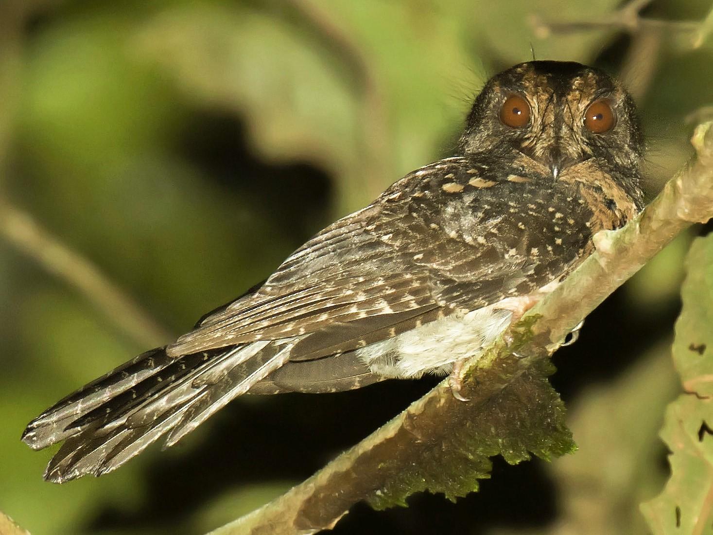 Wallace's Owlet-nightjar - daniel lopez velasco