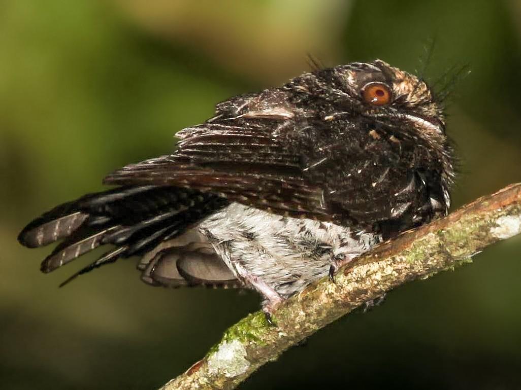 Wallace's Owlet-nightjar - Pam Rasmussen