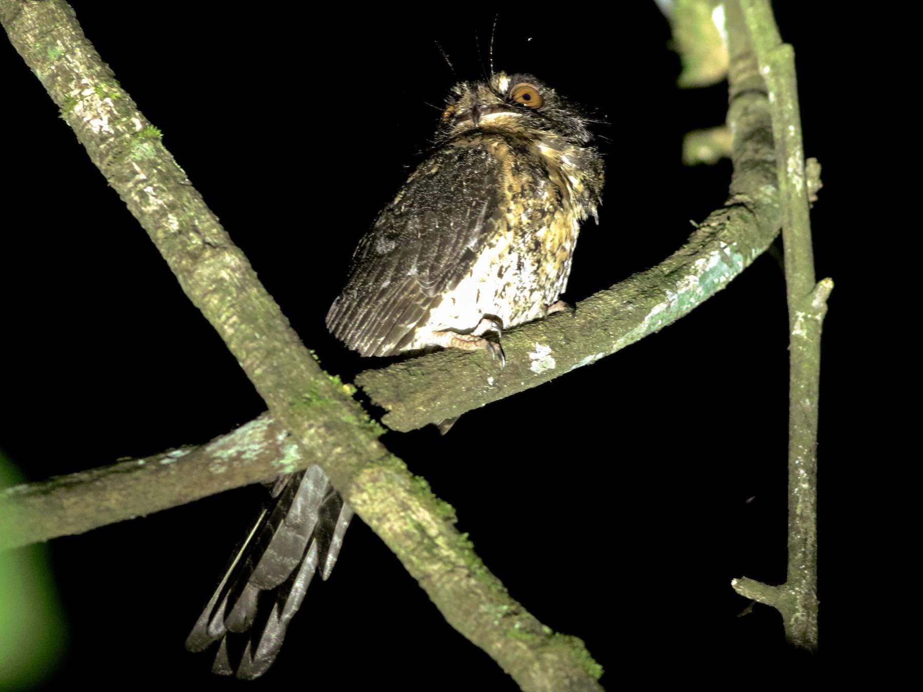 Wallace's Owlet-nightjar - Chris Wiley