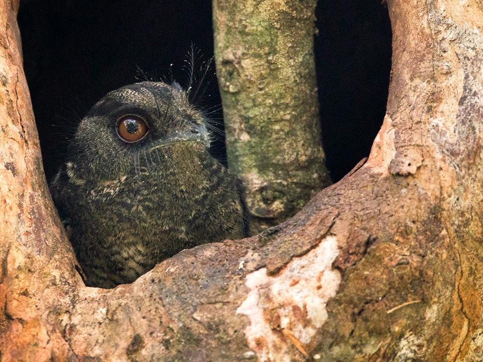 Barred Owlet-nightjar - Lars Petersson