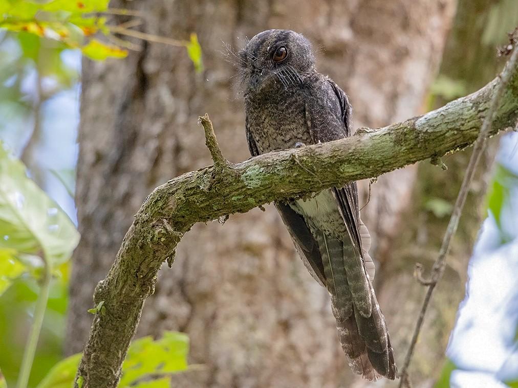 Barred Owlet-nightjar - Niall D Perrins