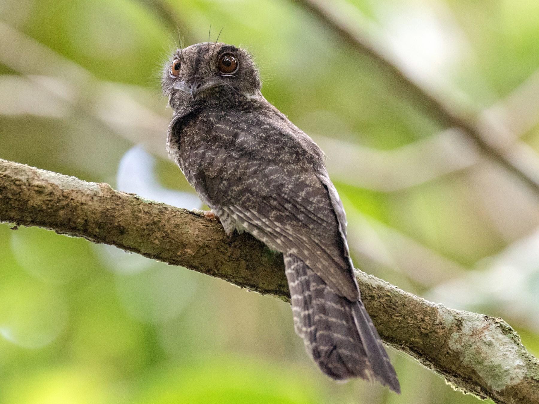 Barred Owlet-nightjar - Chris Barnes