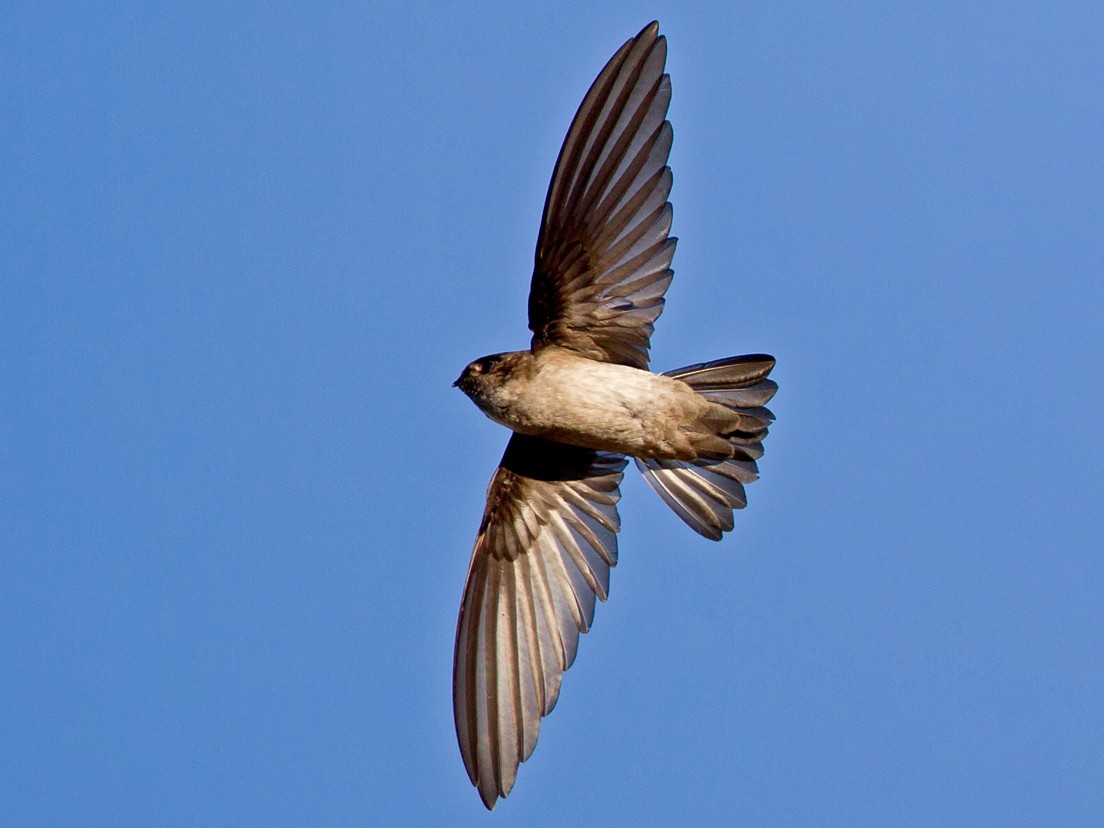 White-rumped Swiftlet - Mat Gilfedder