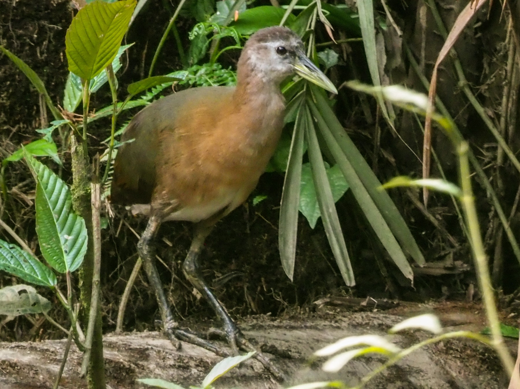 New Guinea Flightless Rail - Stephan Lorenz