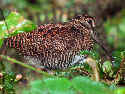 New Guinea Woodcock - Nik Borrow