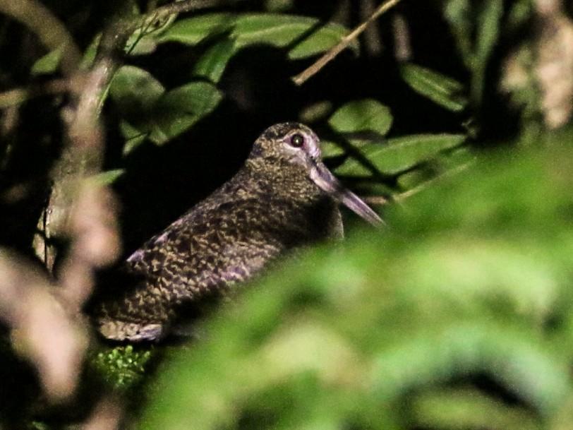 New Guinea Woodcock - Vincent van der Spek