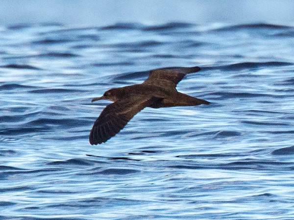 Heinroth's Shearwater - Lars Petersson