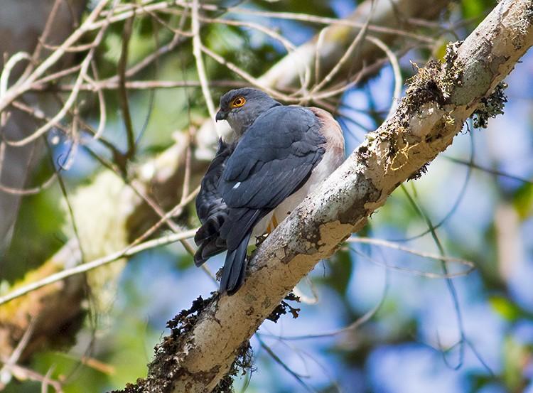 Small Sparrowhawk - Sam Woods