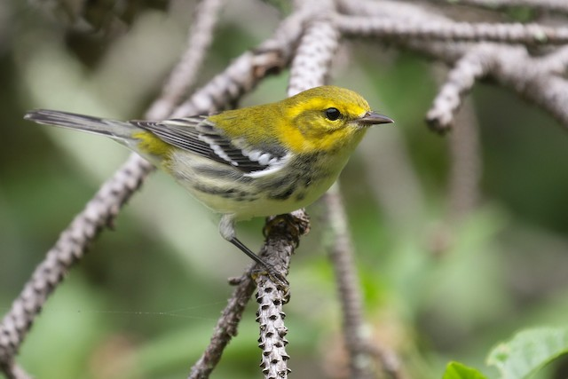 ©Baxter Beamer - Black-throated Green Warbler