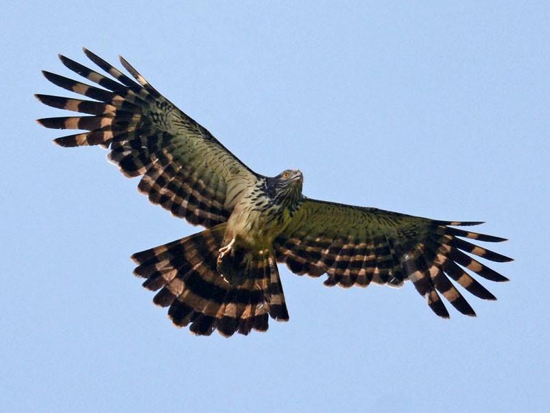 Long-tailed Honey-buzzard - Mark Van Beirs