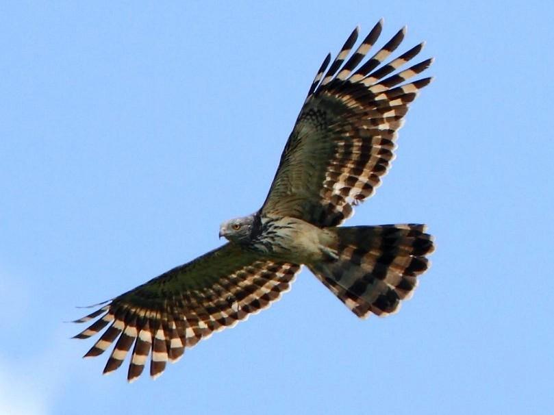 Long-tailed Honey-buzzard - Markus Lilje