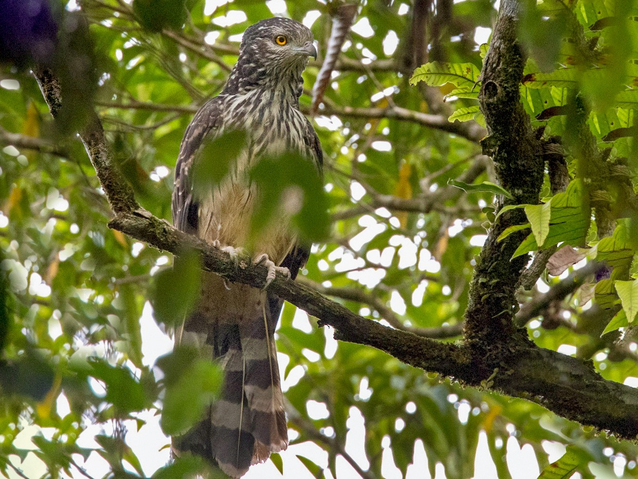 Long-tailed Honey-buzzard - Lars Petersson