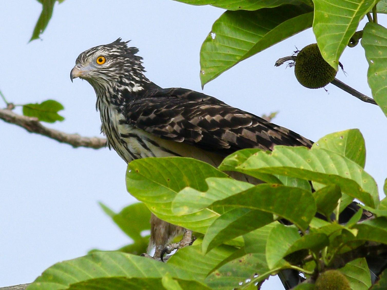 Long-tailed Honey-buzzard - Wilbur Goh Soon Kit