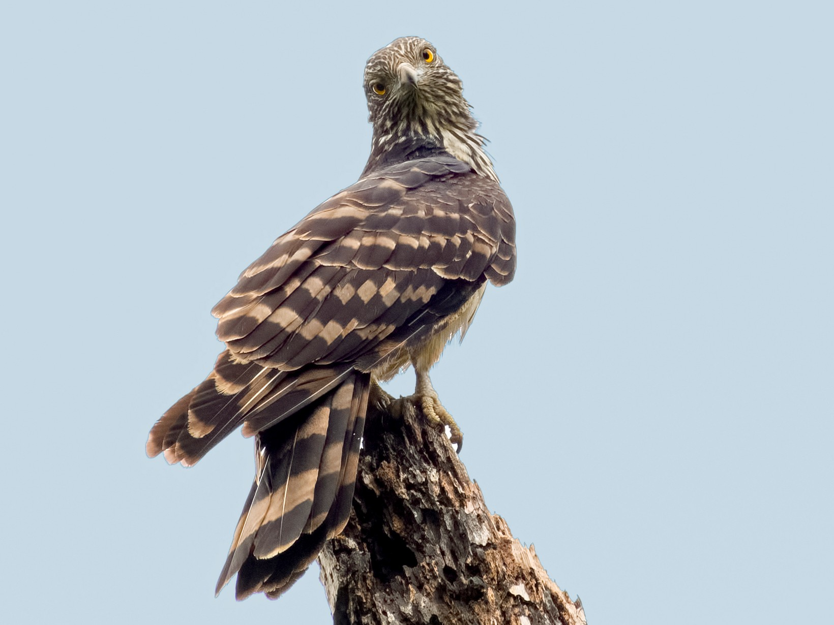 Long-tailed Honey-buzzard - Shailesh Pinto