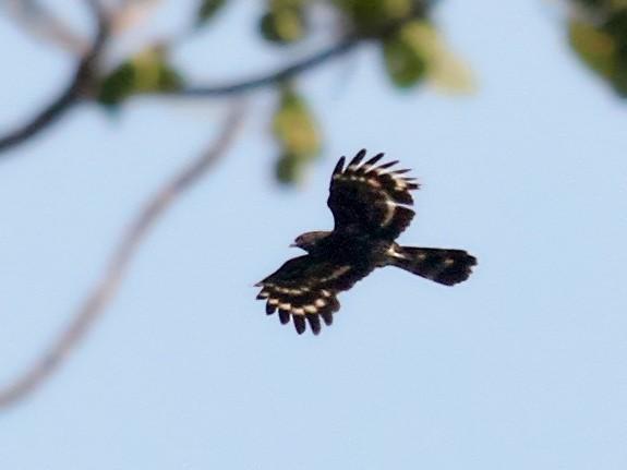 Black Honey-buzzard - Charles Davies