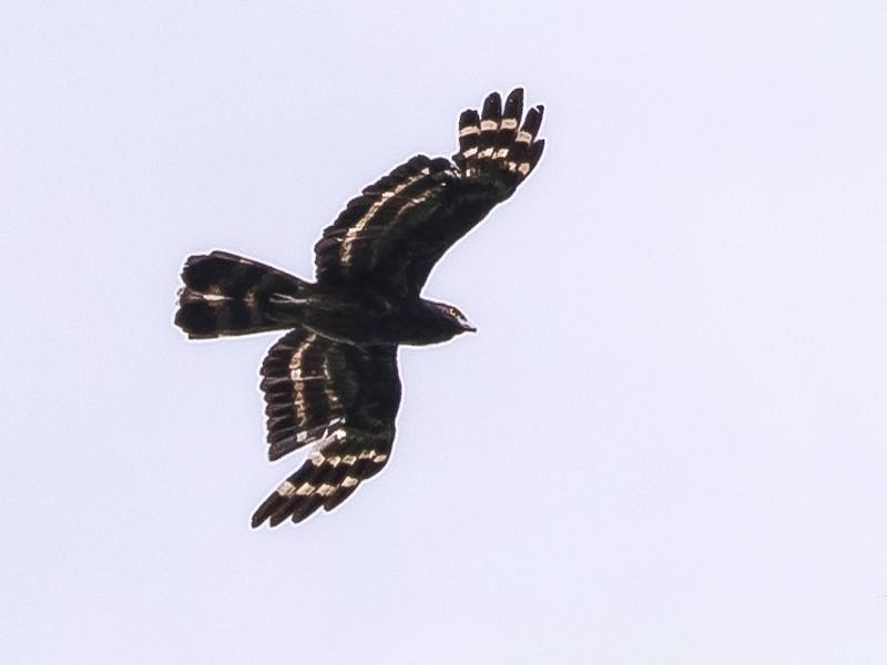 Black Honey-buzzard - David Howe & Rosanne Dawson