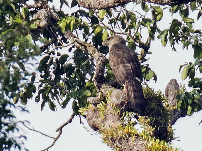 New Guinea Eagle - daniel lopez velasco