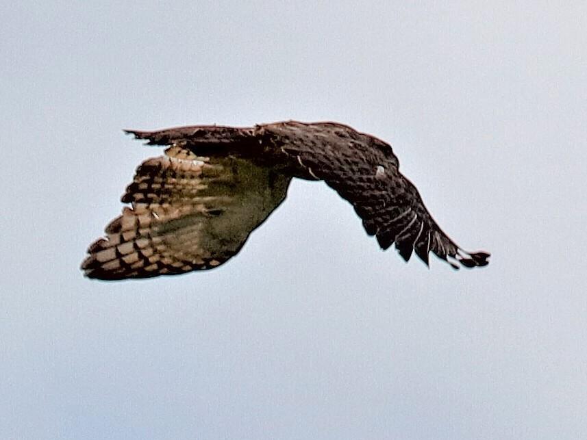 New Guinea Eagle - Holger Teichmann